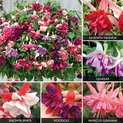 Fuchsia 'Five Star Giants Collection'