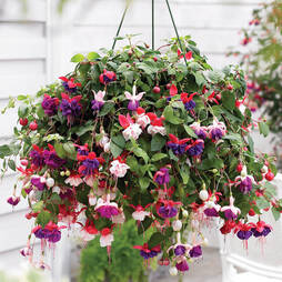 Fuchsia 'Trailing Mix' Pre-planted Hanging Basket