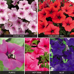 Petunia 'Surfinia' Collection'
