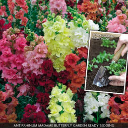 Antirrhinum majus 'Madame Butterfly Mix' (Garden Ready)