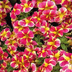 Calibrachoa 'Candy Bouquet'