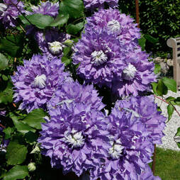 Clematis 'Diamantina'