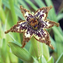 Ferraria crispa 'Starfish Lily'