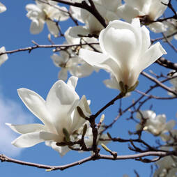 Magnolia denudata 'White'