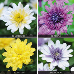 Osteospermum '3D Collection'