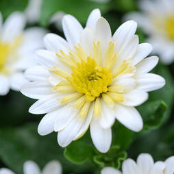 Osteospermum '3D Lemon Ice'