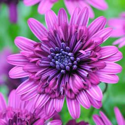 Osteospermum '3D Purple'