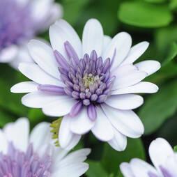 Osteospermum '3D Violet Ice'