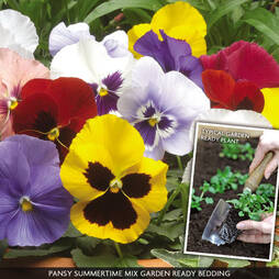Pansy 'Summertime Mix' (Garden Ready)