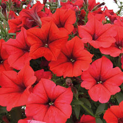 Petunia Surfinia 'Table Dark Red'