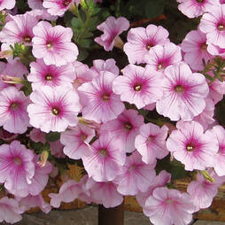 Petunia Surfinia 'Sweet Pink'