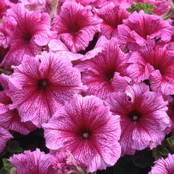 Petunia 'Express Mellow Peppermint Vein'