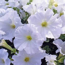 Petunia 'Express Mellow White'