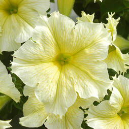 Petunia 'Express Mellow Yellow'