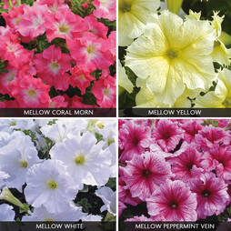 Petunia 'Express Mellow Collection'