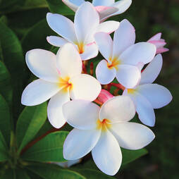 Plumeria 'White'