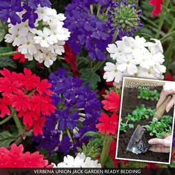Verbena 'Union Jack' (Garden Ready)