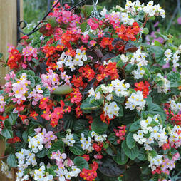 Begonia semperflorens 'Summer Jewels Mixed'