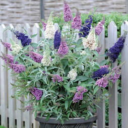 Buddleja 'Buzz® 3 in 1'