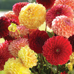 Dahlia variabilis 'Pompone Mixed'
