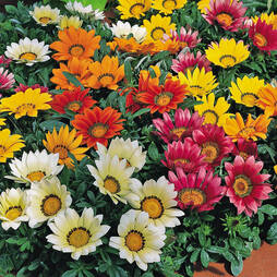 Gazania 'Frosty Kiss Mixed'