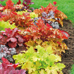 Heuchera 'Patchwork Mixed'