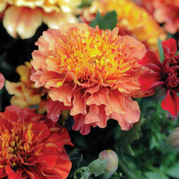 Marigold 'Strawberry Blonde' (Garden Ready)