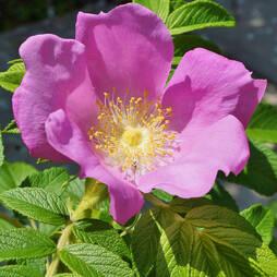 Rosa rugosa Pink