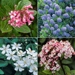 Evergreen Flowering Shrub Collection