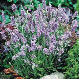 Lavender 'Ellagance Sky'