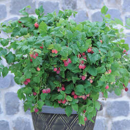 Raspberry 'Ruby Beauty'