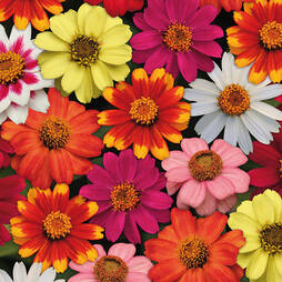Zinnia 'Zahara' Single