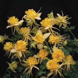 Aquilegia 'Sunshine' (Seeds)
