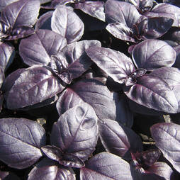 Herb Basil 'Crimson King'  (Seeds)