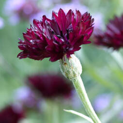 Cornflower 'Black Ball' (Seeds)