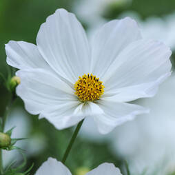 Cosmos bipinnatus 'Purity' (Seeds)