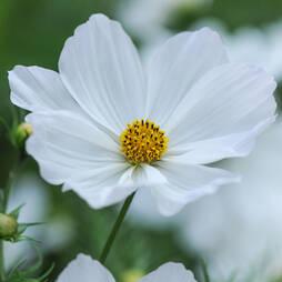 Cosmos bipinnatus 'Purity' (Seeds)