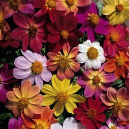 Dahlia coccinea 'Victoriana Mix' (Seeds)