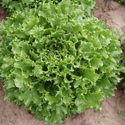 Lettuce 'Mazur' (Seeds)