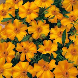 Marigold 'La Bamba' (Seeds)