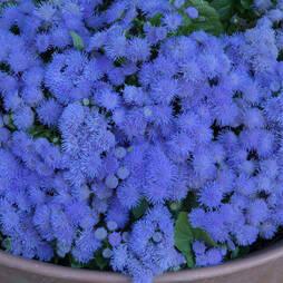 Ageratum houstonianum 'Blue Danube'