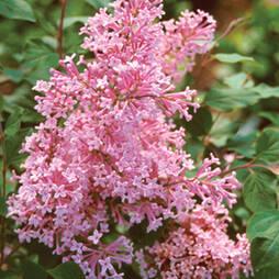 Lilac 'Sugar Plum Fairy'