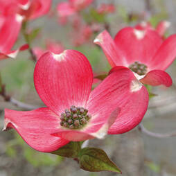 Cornus 'Royal Red'