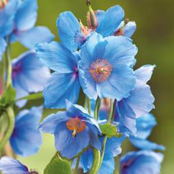Meconopsis Betonicifolia Blue