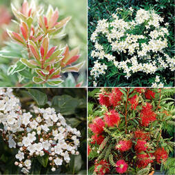 Nurserymans Choice Everlasting Shrub Collection