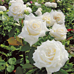 Rose 'Pope John Paul II '
