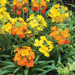 Wallflower 'Citrona Mixed'