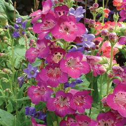 Penstemon 'Juicy Grape'