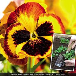 Pansy 'Autumn Blaze Mixed' (Garden Ready)