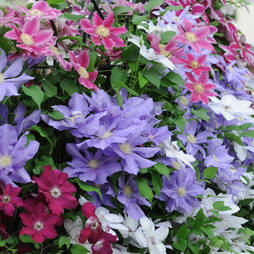 Nurserymans Choice Clematis